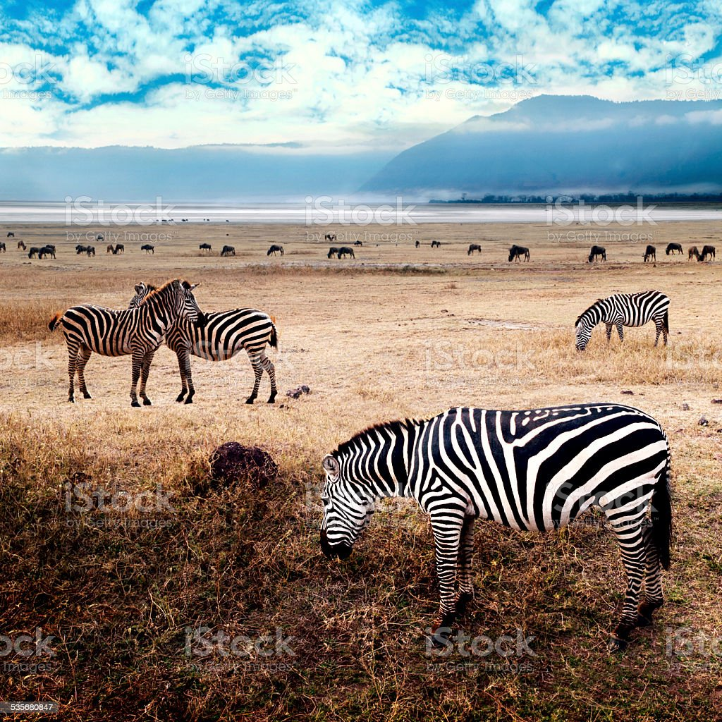 Zebras in the Savanna stock photo