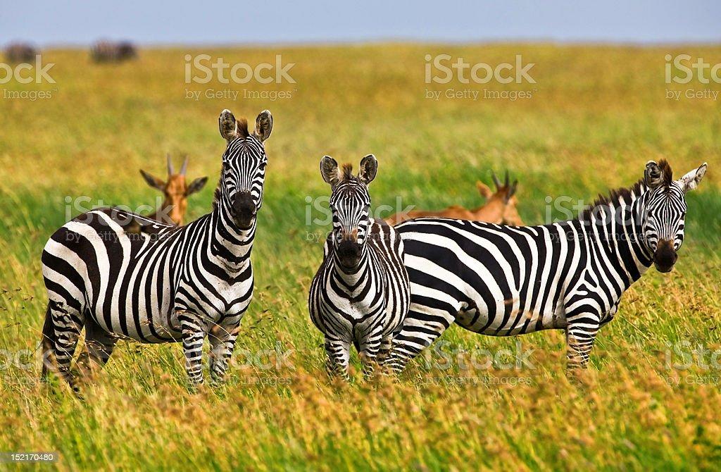 Zebras in the Serengeti stock photo