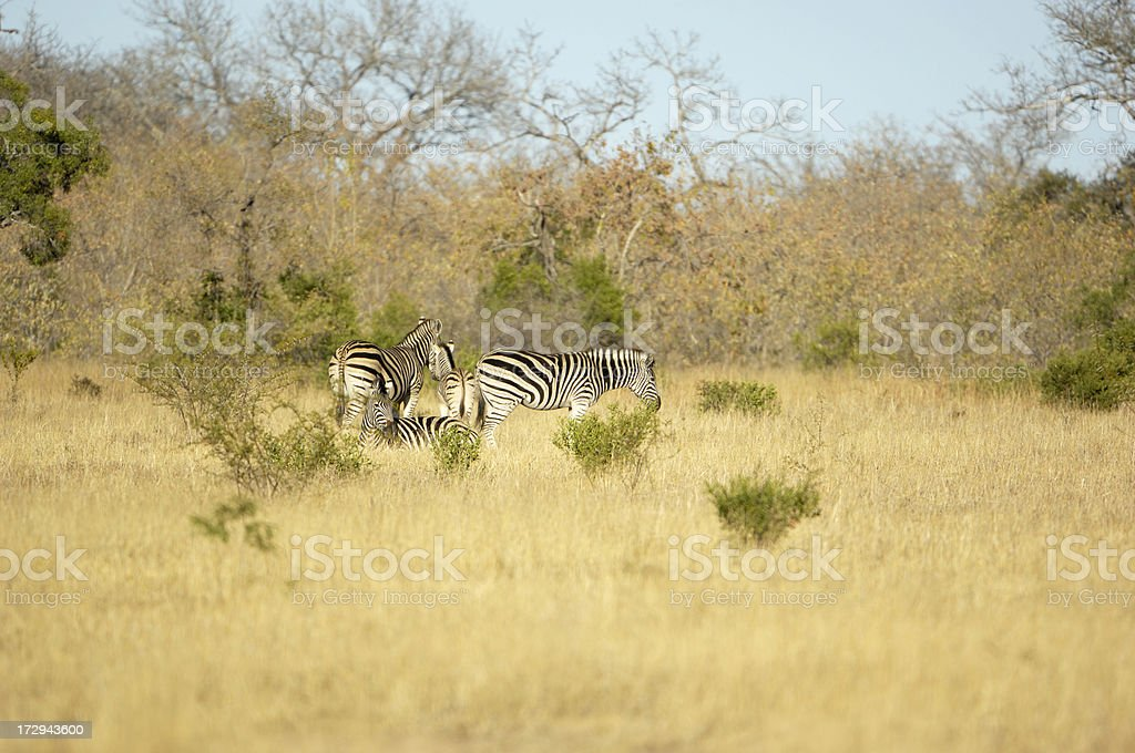 Zebras in the yellow grass stock photo