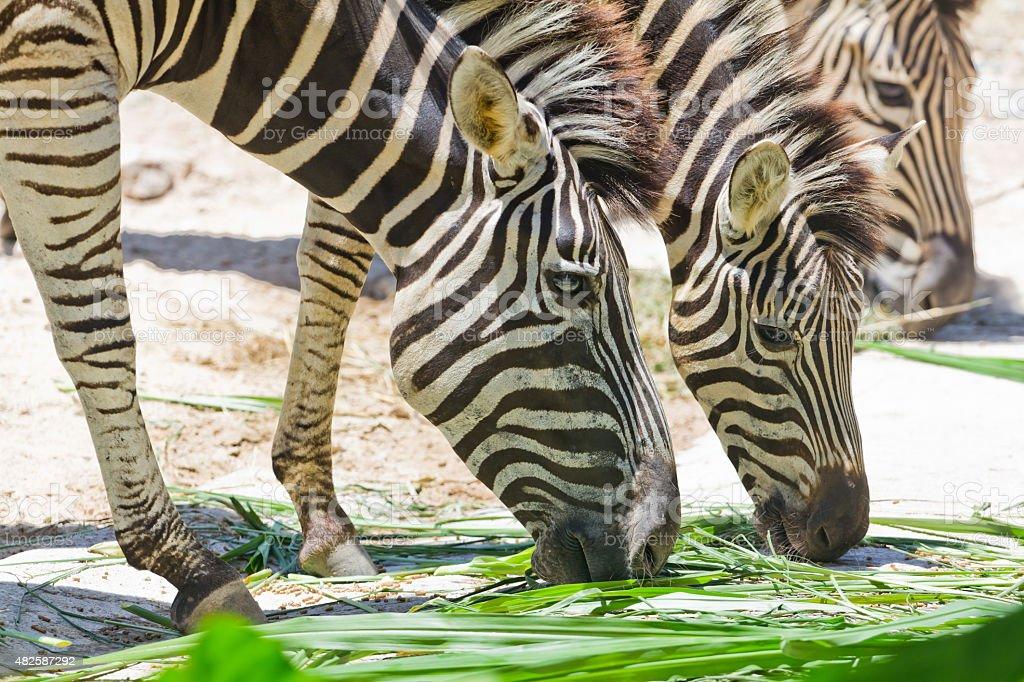 zebras in the zoo stock photo