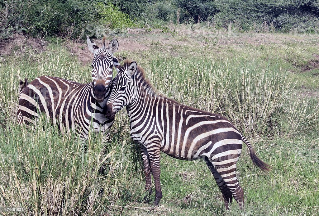 Zebras in wild, A baby zebra and his mother, Tanzania. stock photo