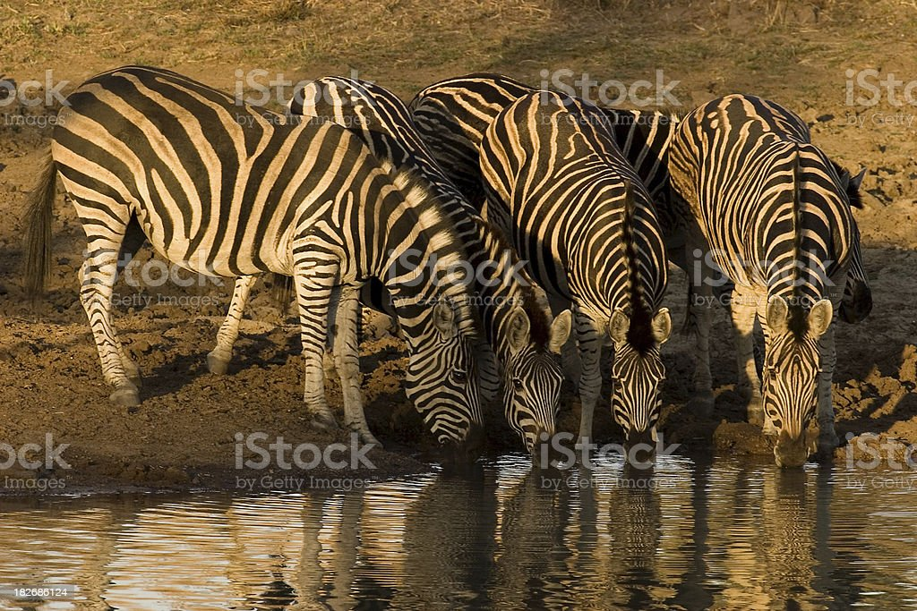 Zebras just before Sunset stock photo