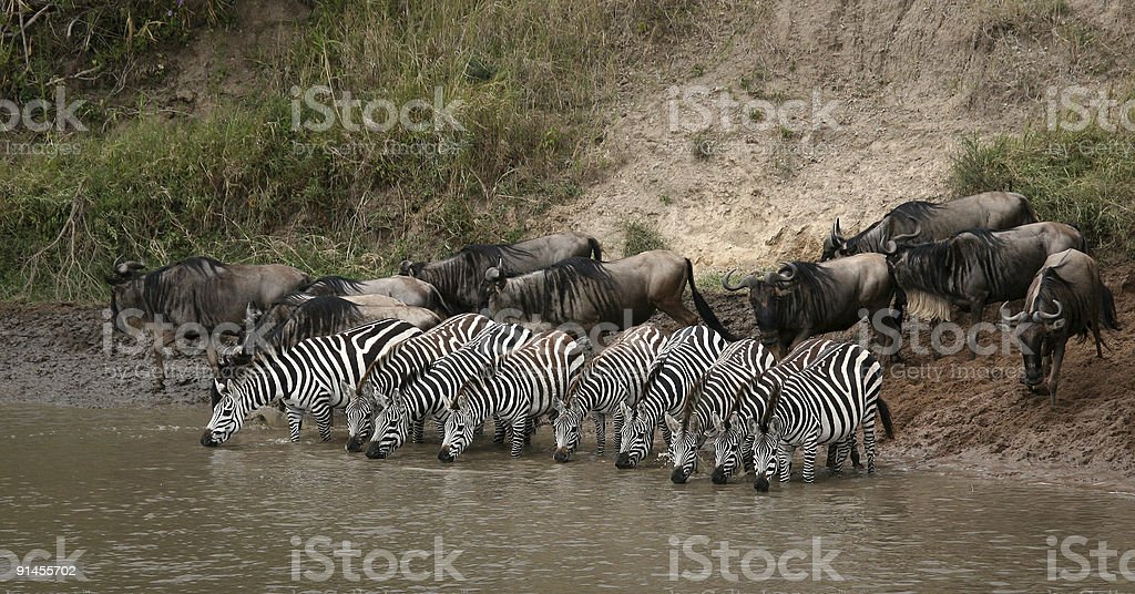 zebras, Kenya stock photo