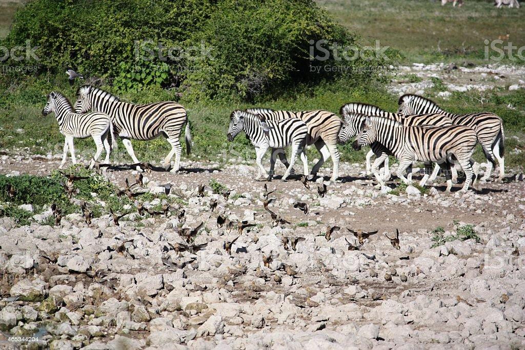 Zebras large herd at the waterhole in Etosha Nationalpark Namibia stock photo
