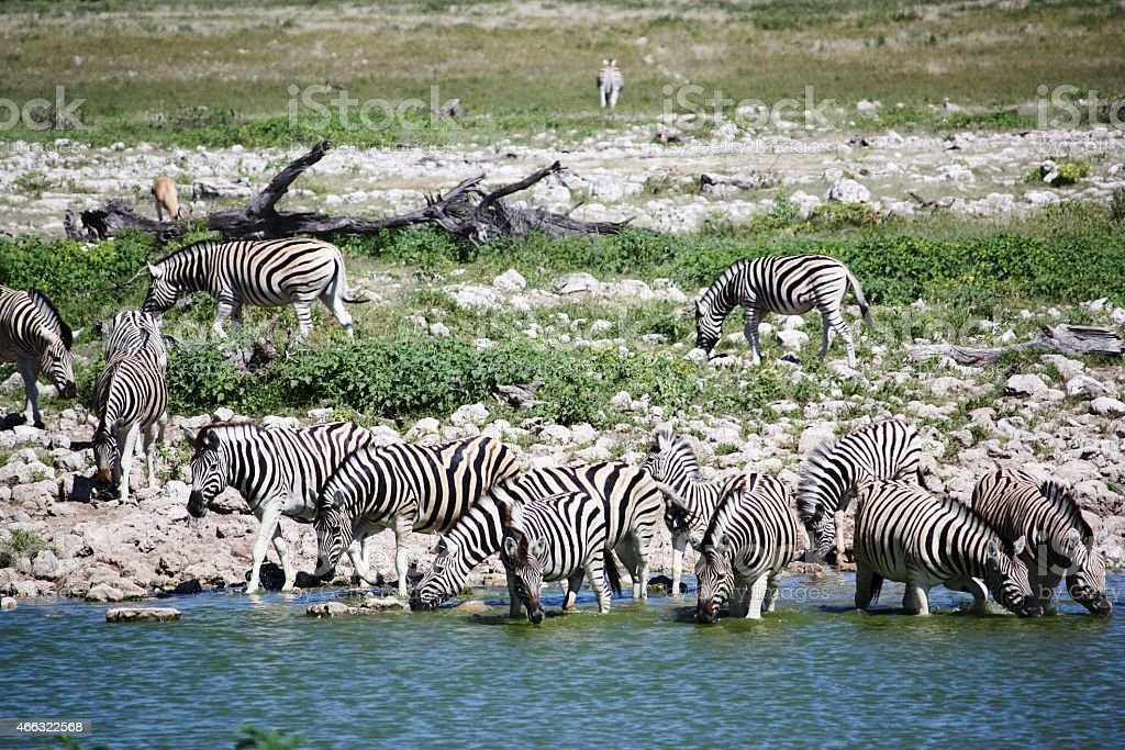 Zebras large herd at the waterhole in Etosha Nationalpark Namibia stock photo
