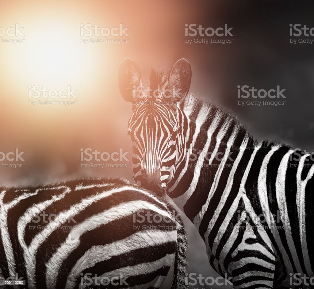 Zebras - looking at camera - backlit stock photo