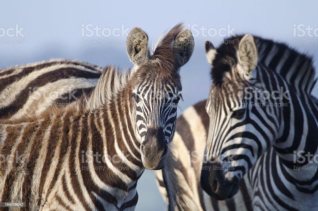 Zebras looking at camera stock photo