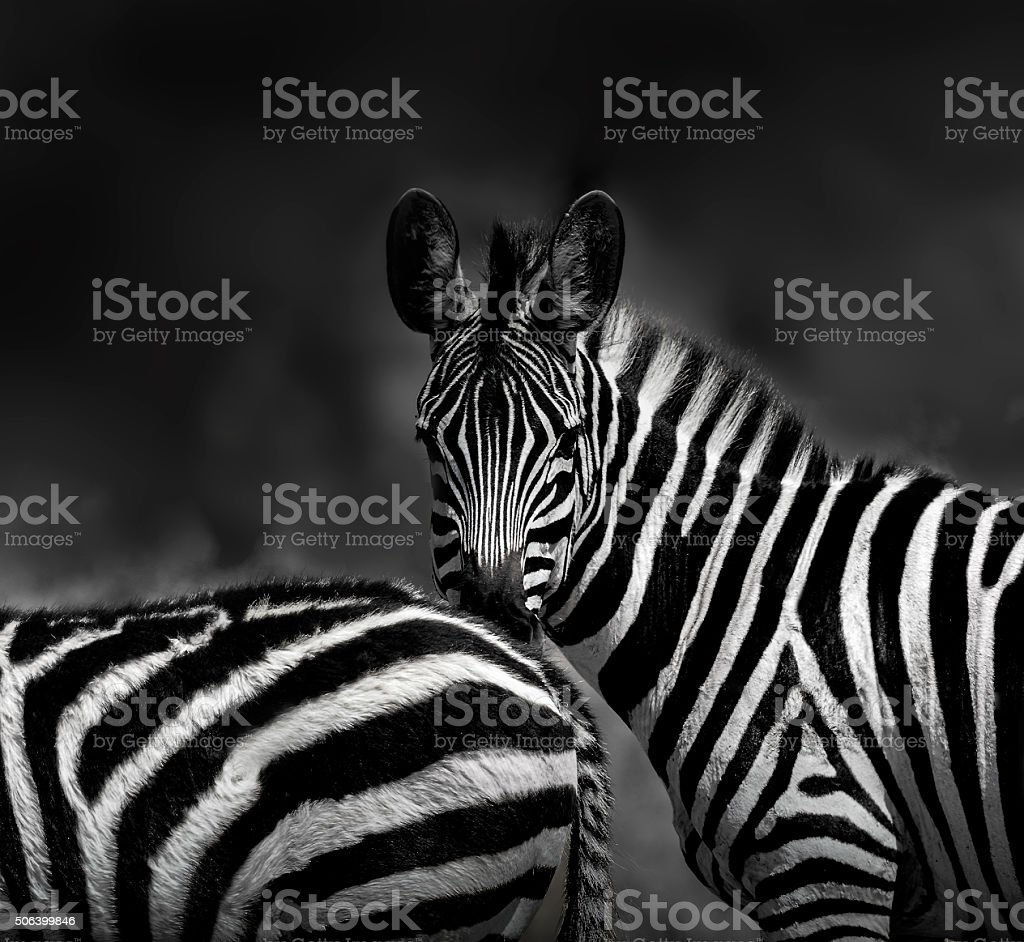 Zebras - looking at camera together stock photo