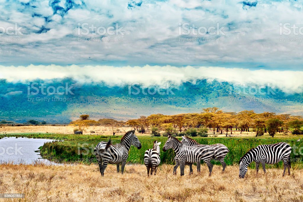 Zebras of Ngorongoro crater stock photo