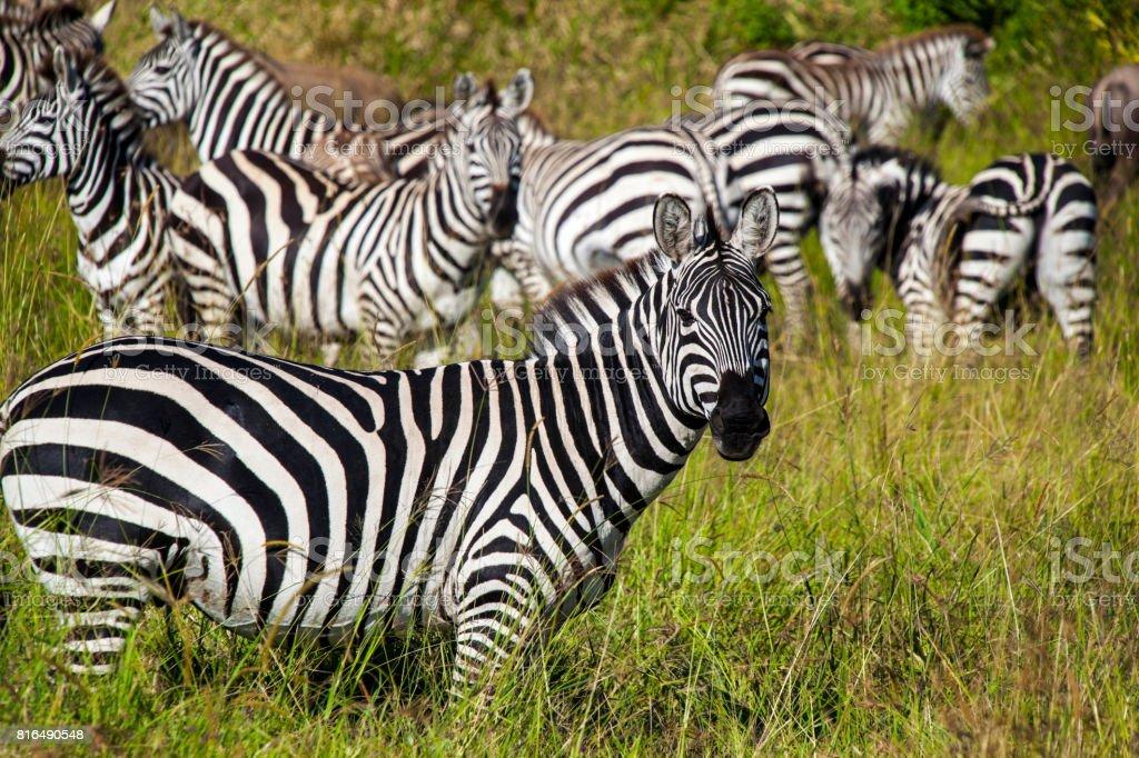 Zebras on grassland  -  Tanzania Safari stock photo