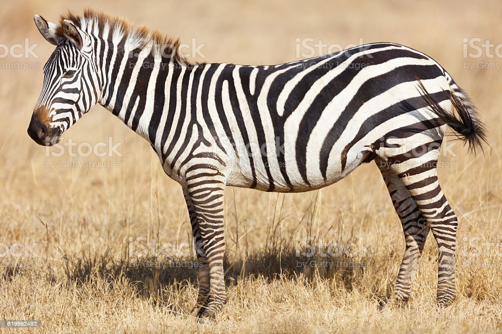Zebras on the African Savana, Ngorongoro Crater, Tanzania Africa stock photo
