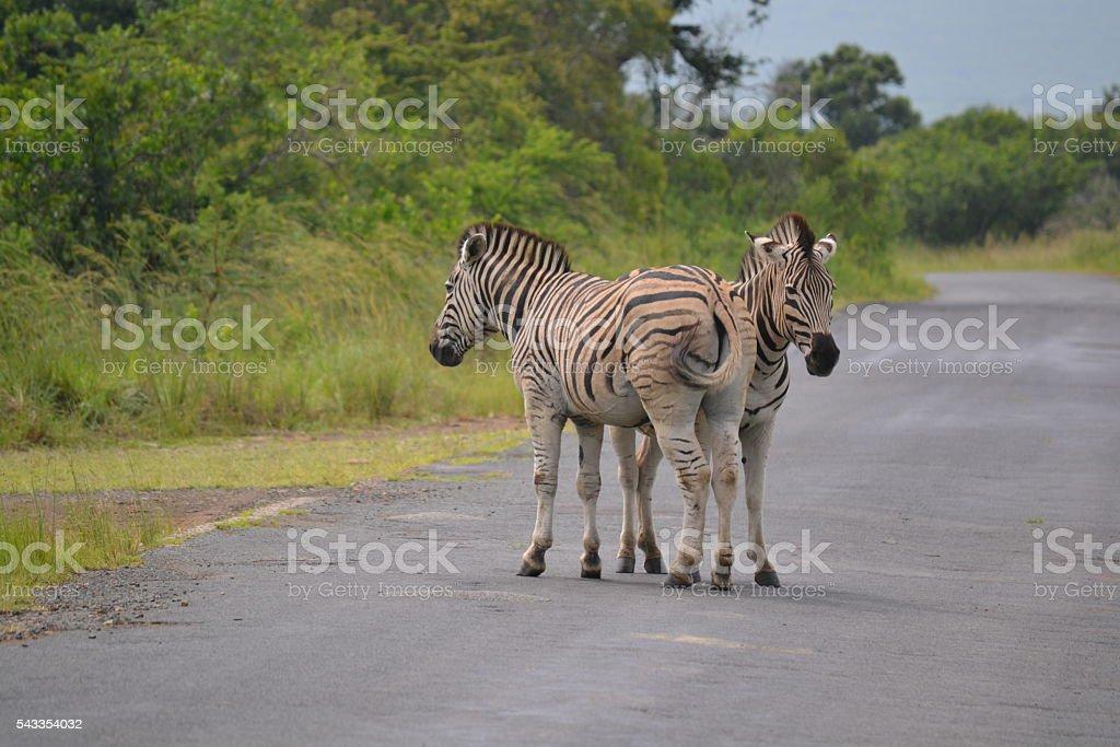 zebras on the road on safari stock photo