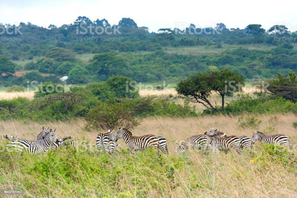 Zebras on the Savannah stock photo