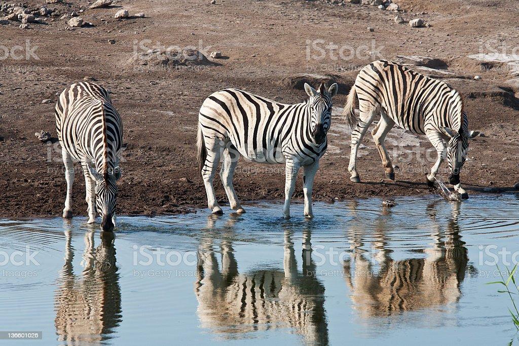 zebras ロイヤリティフリーストックフォト