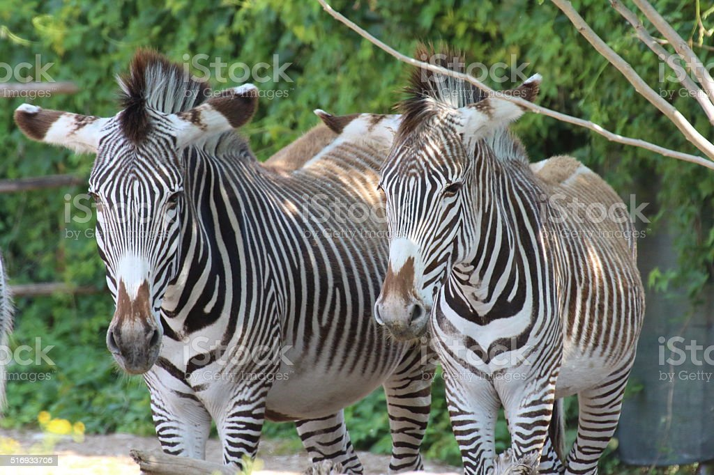 Zebras seek shelter from the sun under a tree stock photo