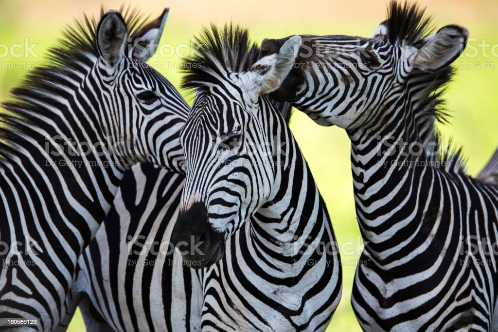 Zebras socialising and kissing stock photo