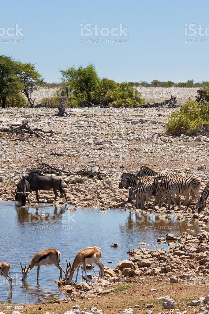Zebras, Springboks, Wildebeests at waterhole in Etosha National Park, Namibia stock photo
