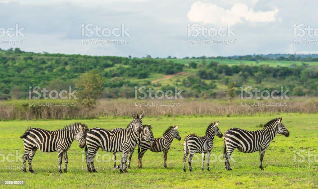 Zebras standing in a row, Rwanda, Africa stock photo