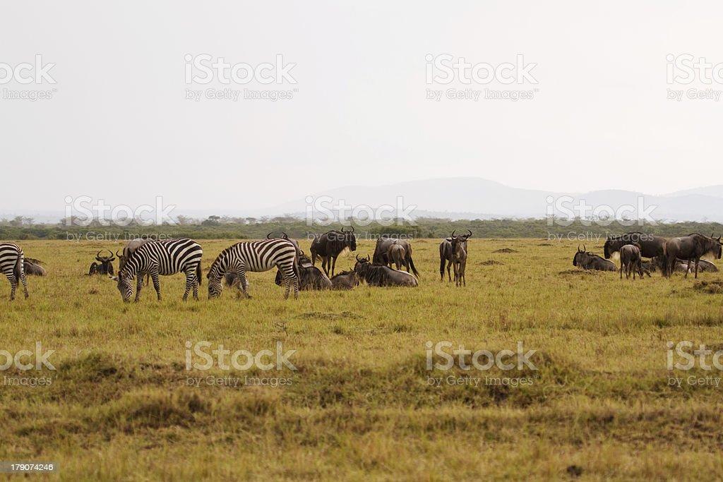 Zebras & wildebeests royalty-free stock photo
