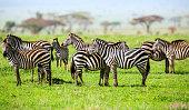 Zebras with African Acacia Trees at Savannah