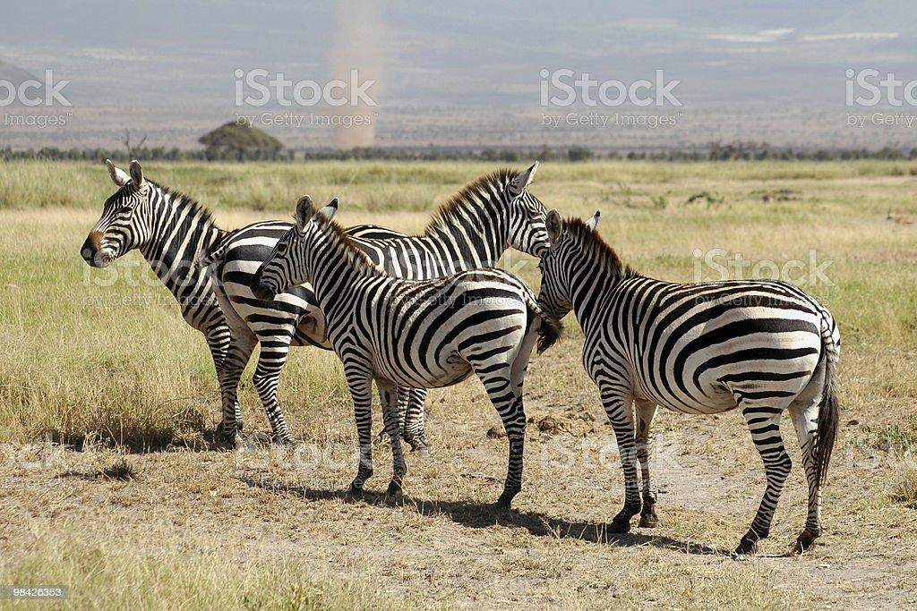 Zebras with twister royalty-free stock photo