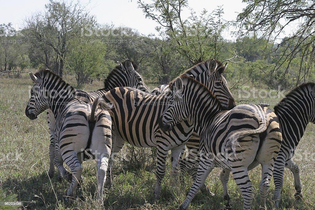 Zebras zip off series royalty-free stock photo