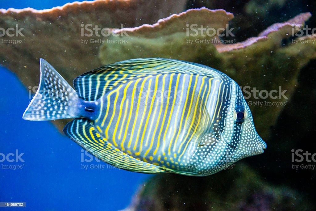 Zebrasoma desjardini stock photo