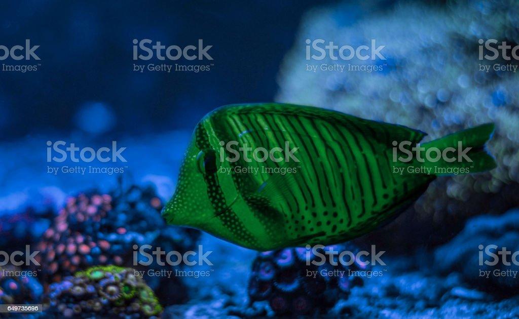 Zebrasoma desjardini, Sailfin Tang. Reef tank marine aquarium. Blue aquarium full of plants. stock photo
