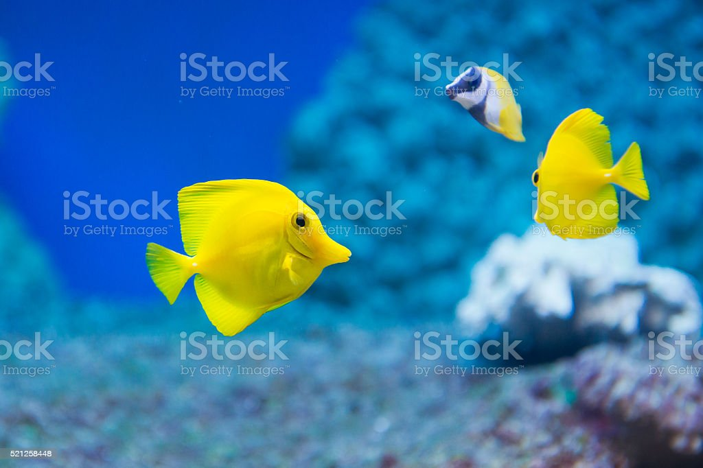 Zebrasoma flavescens - yellow tang stock photo