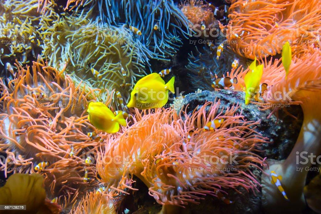 zebrasoma yellow fish stock photo