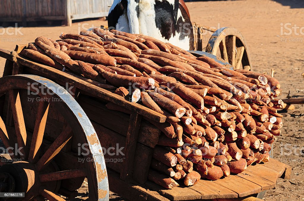 Zebu cart fully loaded with dry cassava stock photo