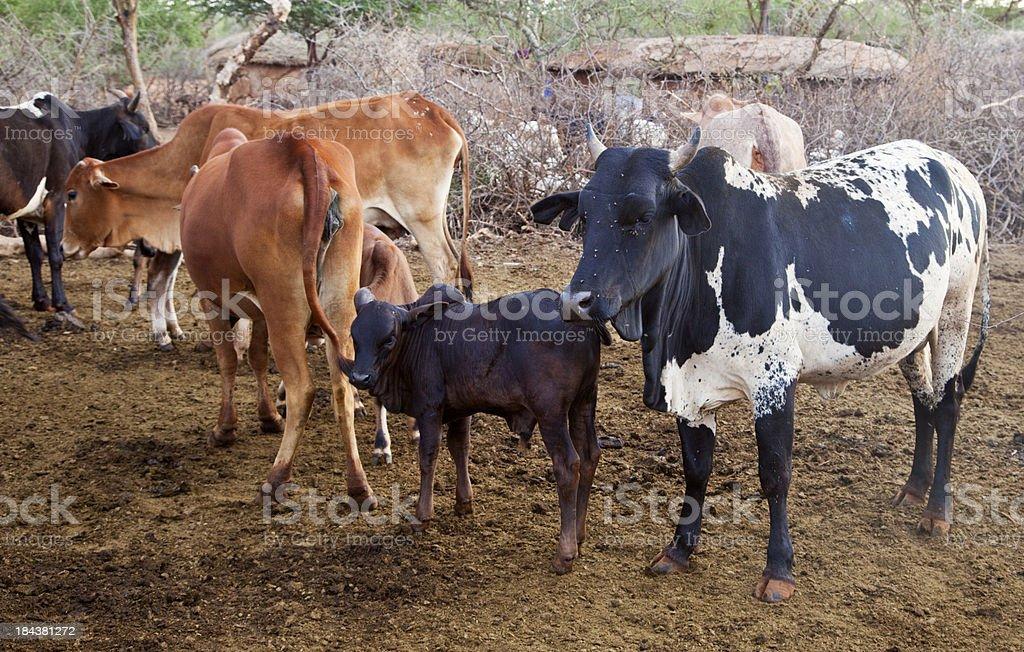 Zebu cattle in Maasai land. stock photo