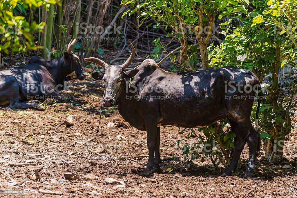 Zebu Cattle - Madagascar stock photo