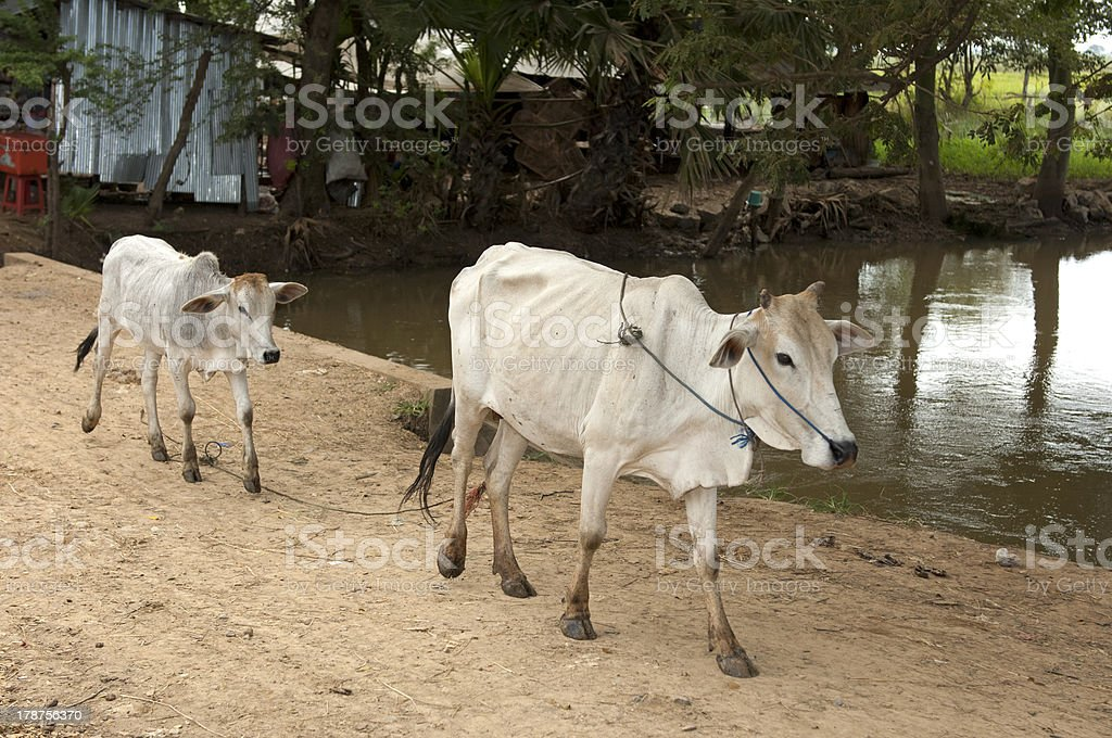 Zebu cow with calf royalty-free stock photo
