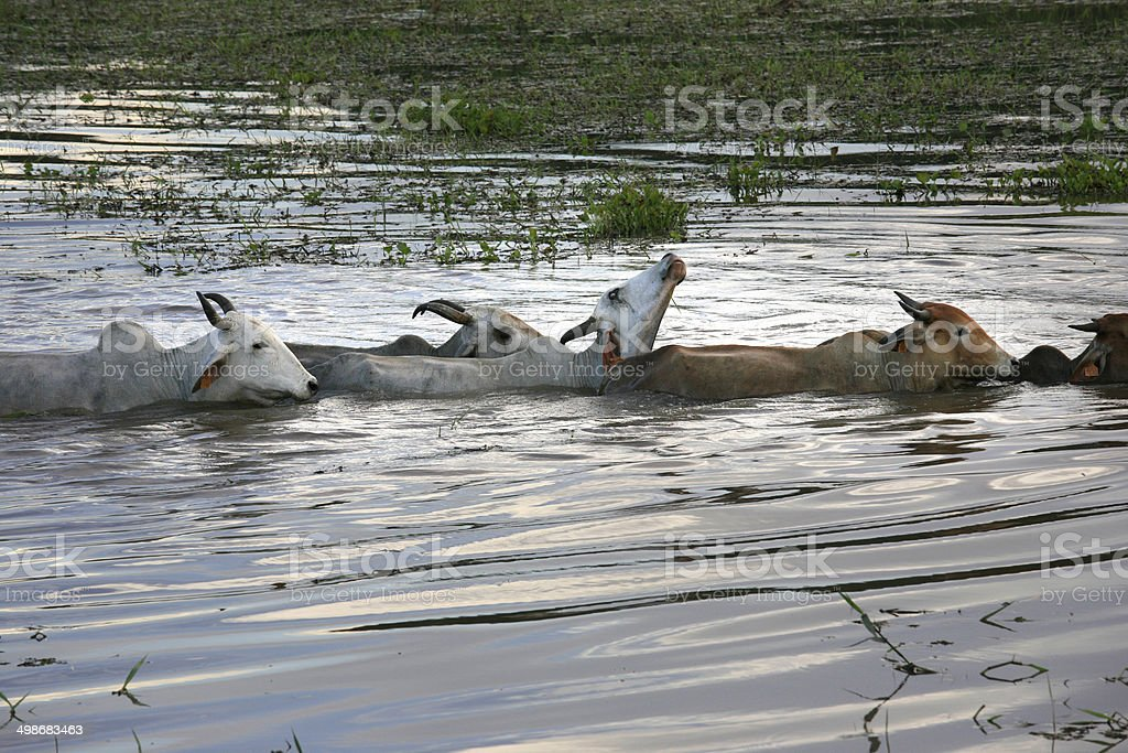 Zebus swimming, Kaw-Roura National Nature Reserve, French Guiana stock photo
