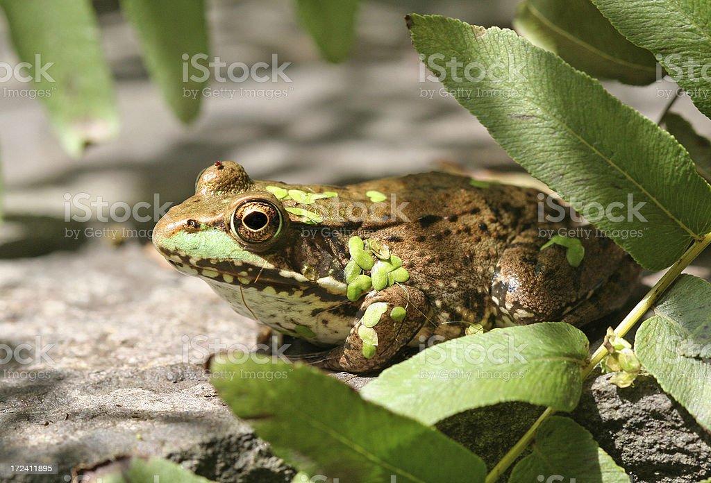 Zen Frog Contemplating royalty-free stock photo