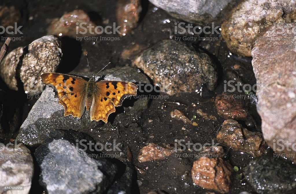 Zephyr Anglewing butterfly on rocky creek, Colorado stock photo