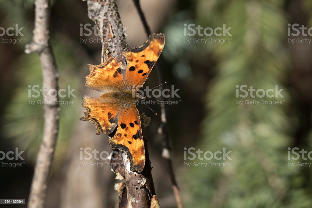 Zephyr Anglewing butterfly sunning Mount Evans Wilderness Colorado stock photo