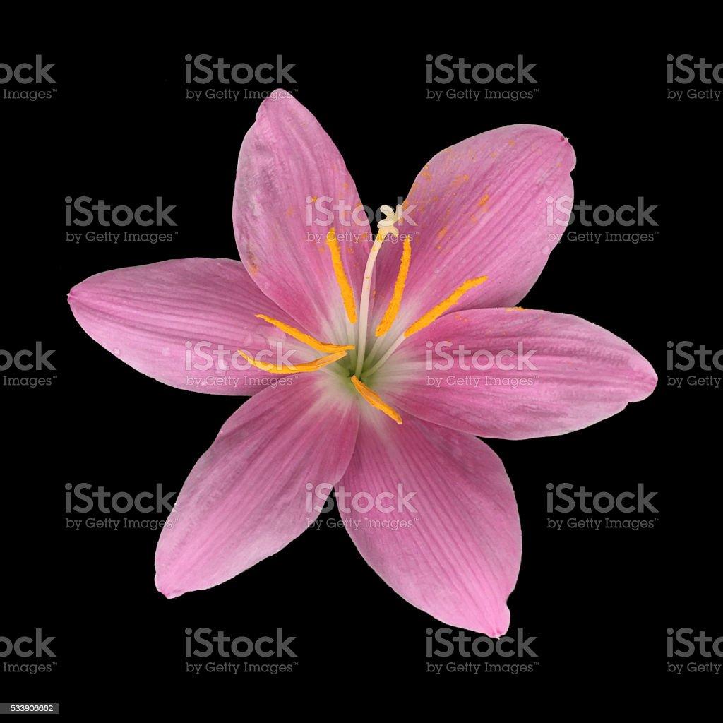 Zephyranthes candida flower isolated stock photo