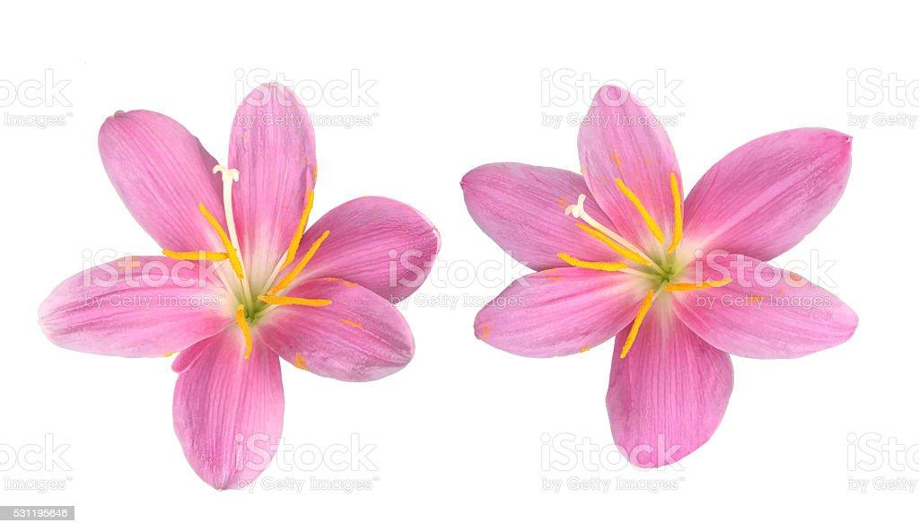 Zephyranthes candida flowers isolated stock photo