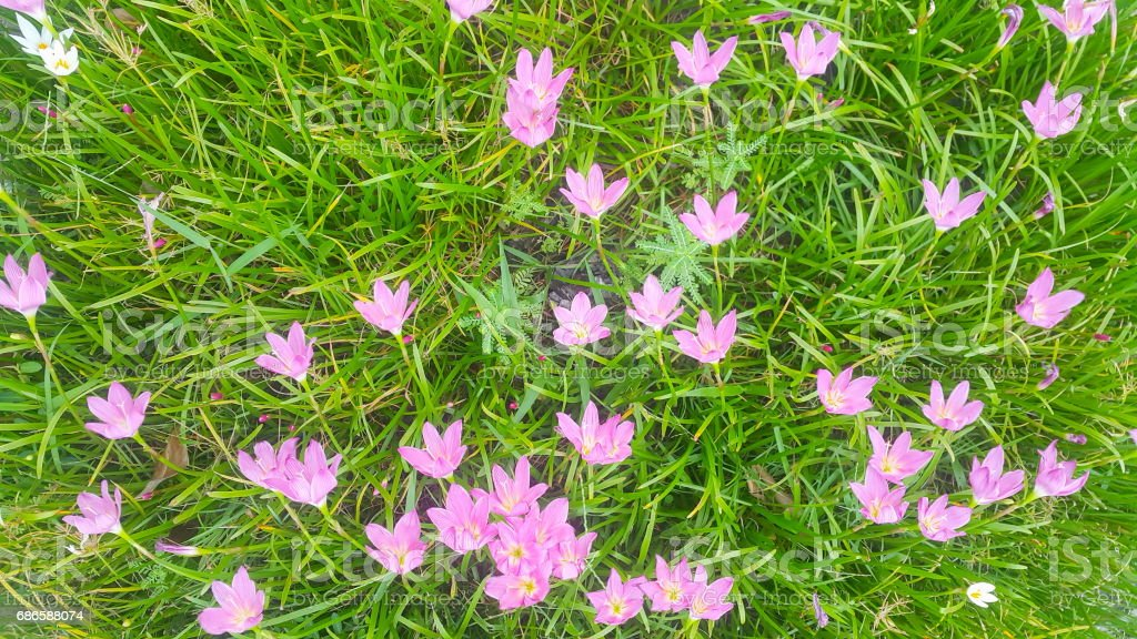 Zephyranthes grandiflora stock photo