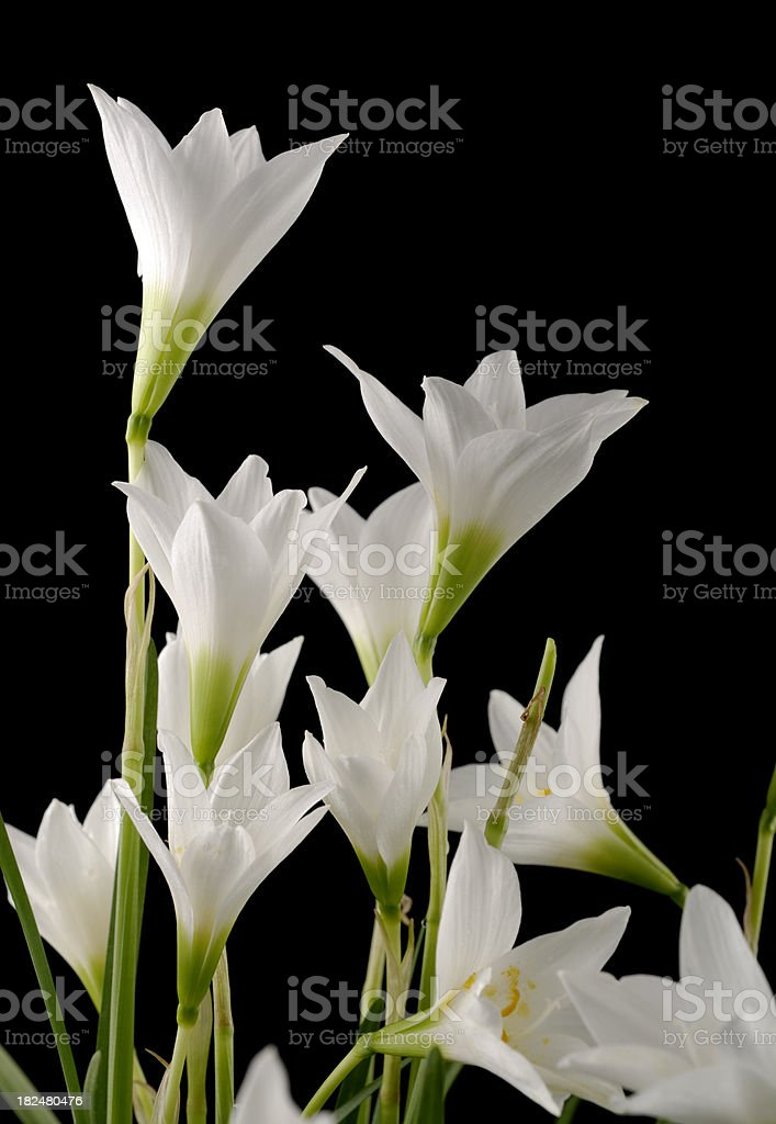 Zephyranthes Lilies stock photo