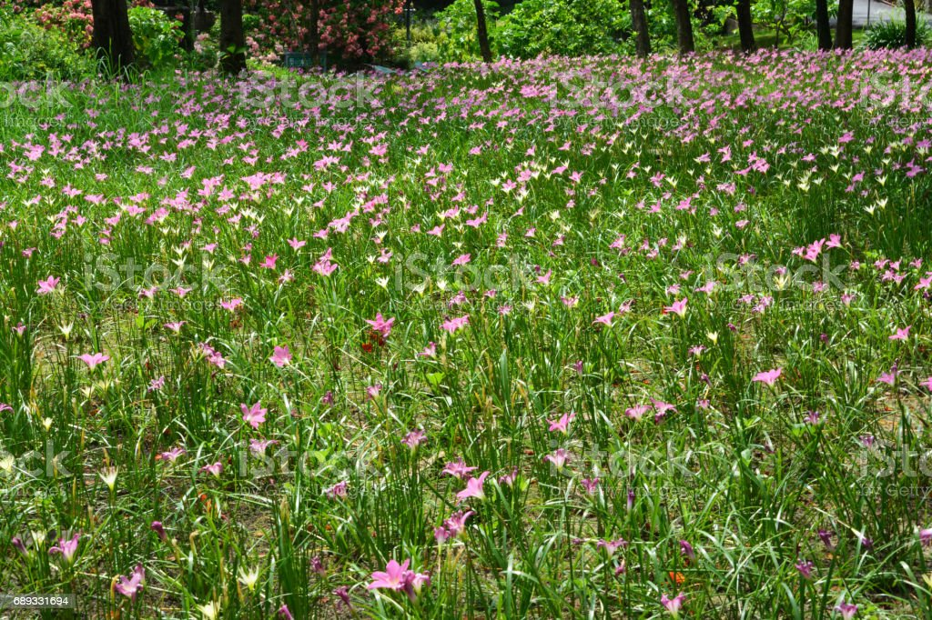 Zephyranthes Lily or Rain Lily in Queen Sirikit park stock photo