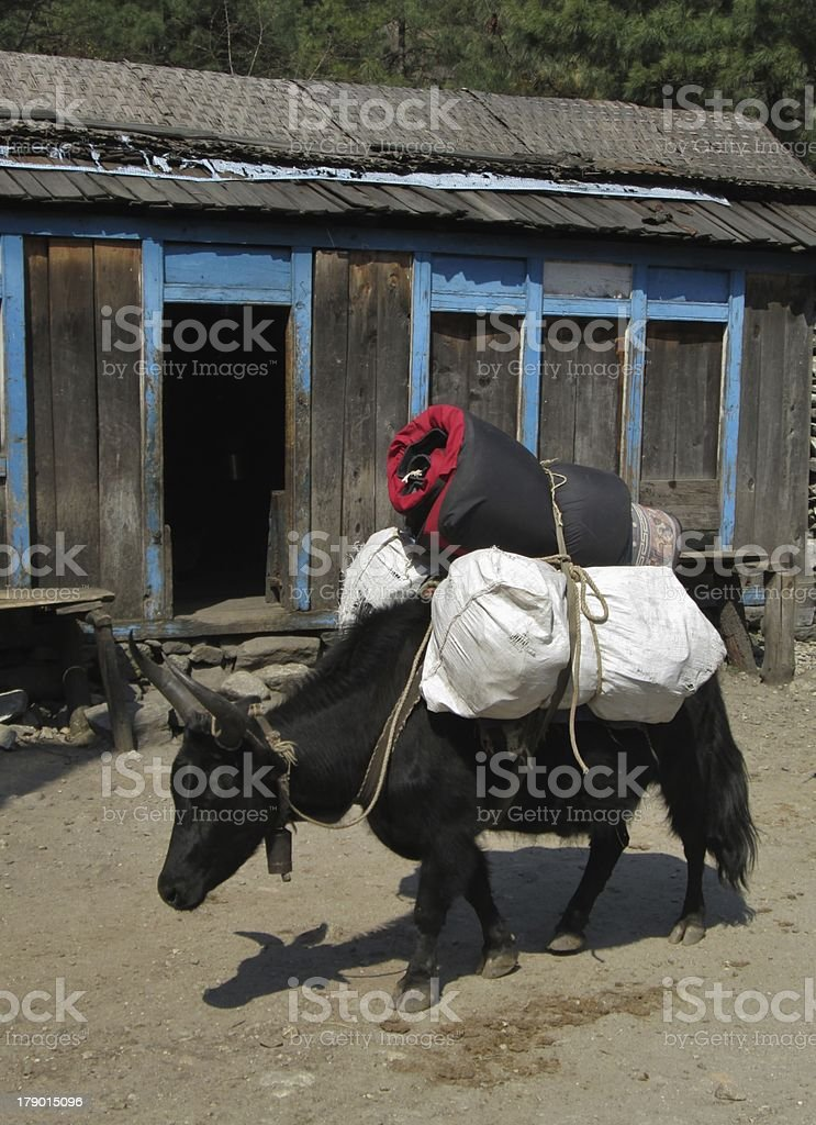 Zho carrying lugagge to the Everest Base Camp royalty-free stock photo