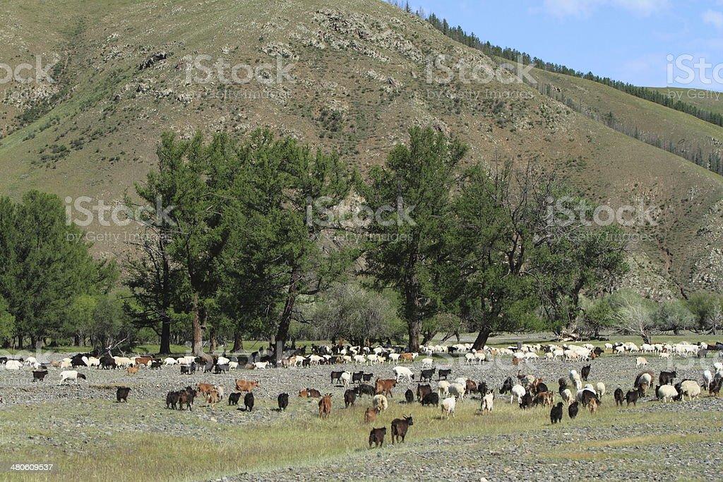 Ziegen und Schafe in der mongolischen Steppe stock photo