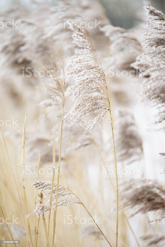 Ziergras in sanften Farben stock photo