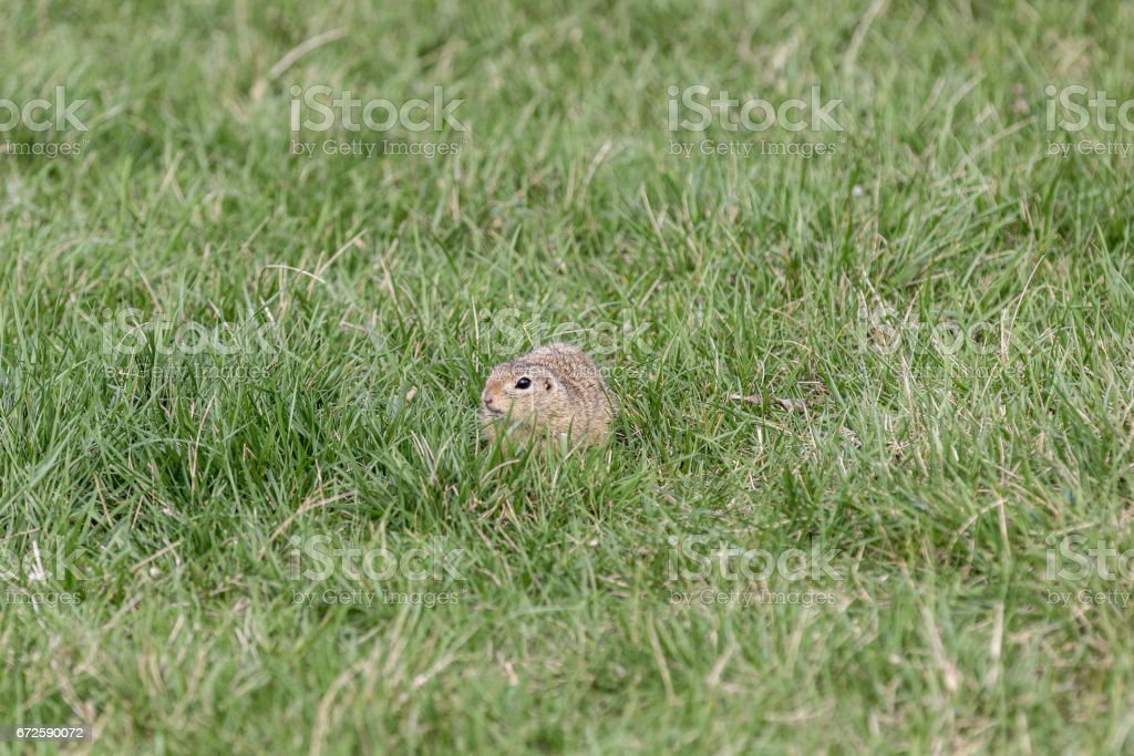 Ziesel im Gras stock photo