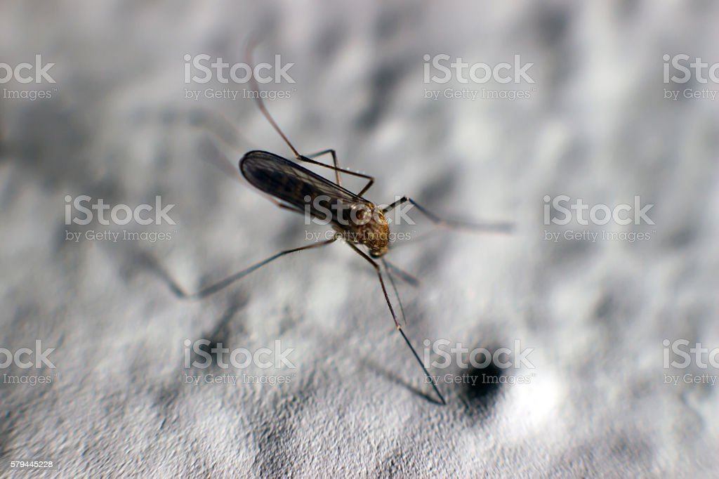Zika virus, mosquito, Dengue, chikungunya fever, microcephaly stock photo