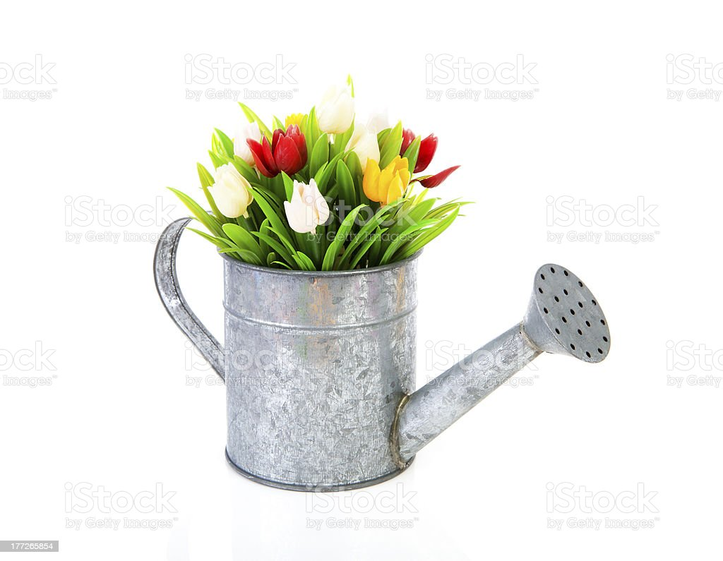 Zinc watering can with colorful tulips royalty-free stock photo