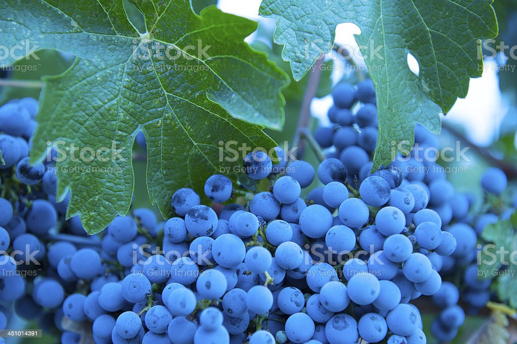 Zinfandel grapes, on the fine stock photo